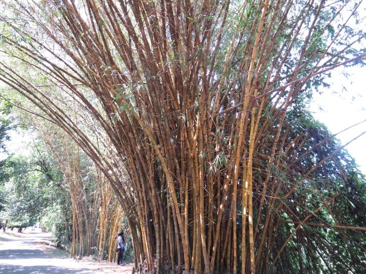 Peradeniya Botanical Gardens, Sri Lanka