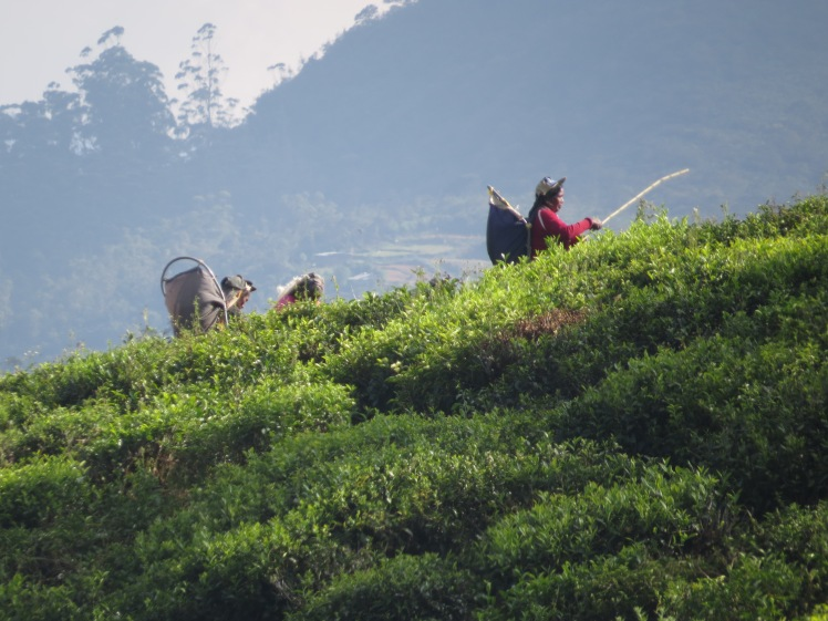 Tea pickers, Nuwara Eliya, Sri Lanka