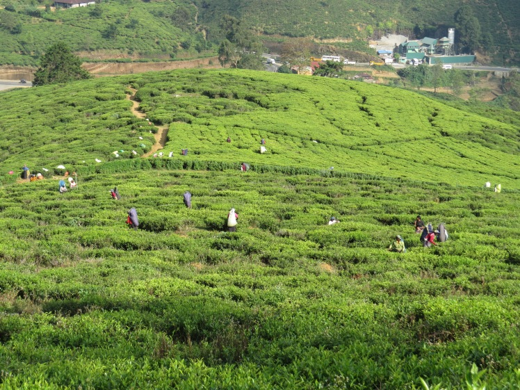 Workers on tea plantation, Nuwara Eliya, Sri Lanka